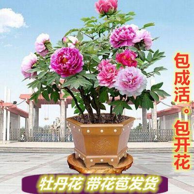 【带花苞发货】牡丹花苗牡丹花盆栽树苗洛阳四季牡丹室内外庭院