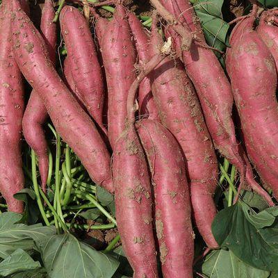 新鲜先挖板栗红薯3斤5斤10斤装陕西特产农家红薯白心黄心地瓜鲜果