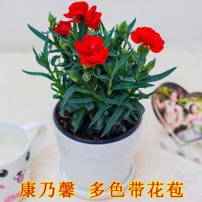 【带花苞】康乃馨盆栽石竹花苗室内阳台绿植好养四季开花植物花卉
