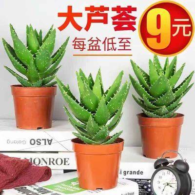 芦荟盆栽不夜城芦荟室内桌面植物防辐射净化空气吸甲醛绿植花卉