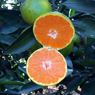 【坏果包赔】宜昌蜜桔无籽新鲜柑橘早熟皮薄现摘当季孕妇水果包邮
