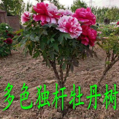 菏泽正宗牡丹树独杆一株多色庭院别墅花园地栽芍药大苗牡丹王花王