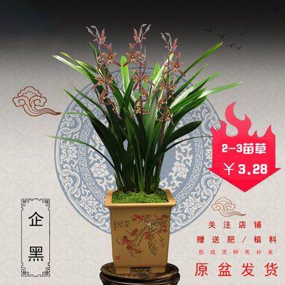 墨兰报岁兰花花苗带盆带花苞浓香型金边名贵室内好养花卉绿植盆栽