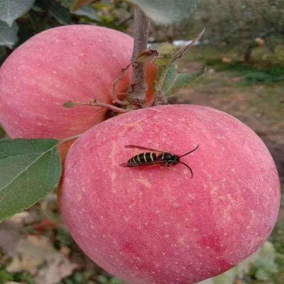 苹果水果红富士冰糖心新鲜当季脆甜爽口多汁孕妇水果非洛川阿克苏