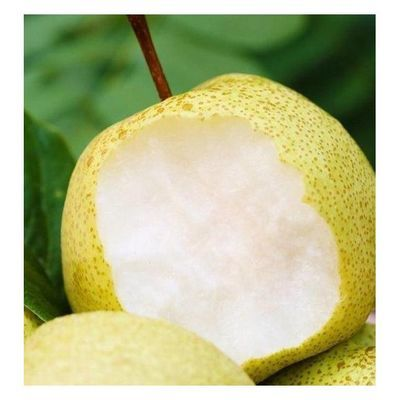 陕西酥梨贡梨正宗梨子新鲜当季应季孕妇水果2/5/10斤皇冠梨砀山梨