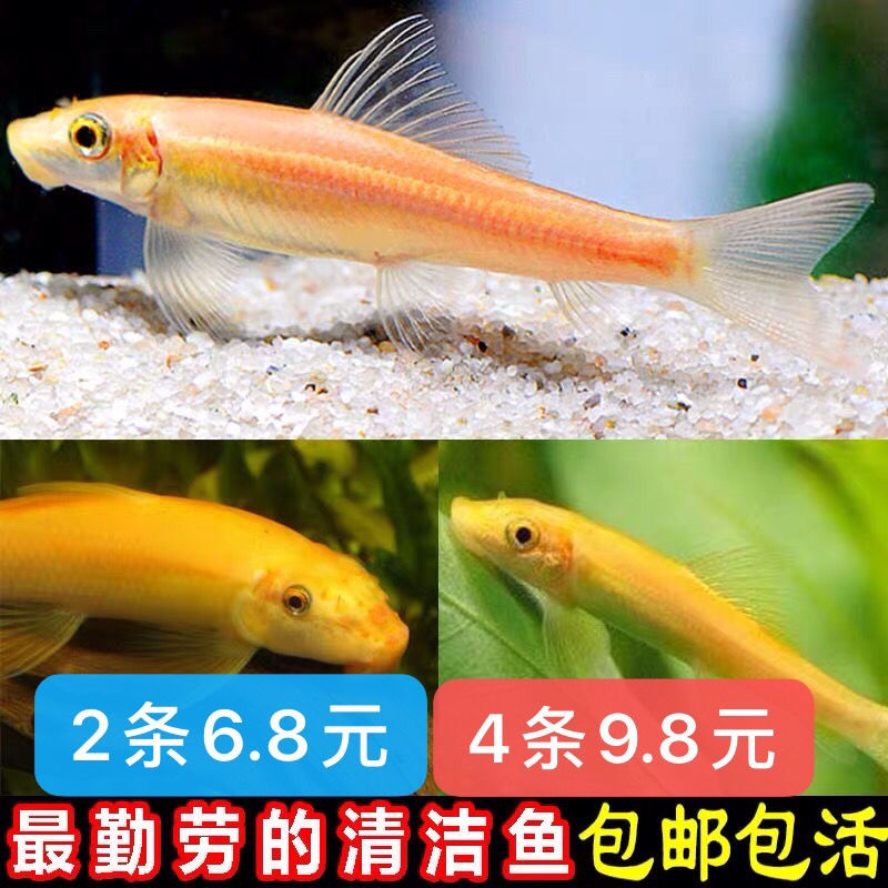 清道夫鱼金苔鼠鱼鱼缸清洁鱼热带鱼观赏鱼好养工具鱼垃圾鱼淡水鱼【1月20日发完】