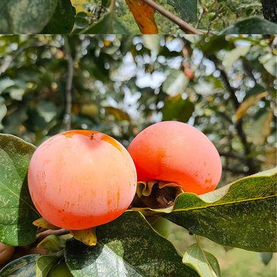 不催熟绿色有机临潼火晶柿子现摘现发小柿子甜柿子非脆柿子