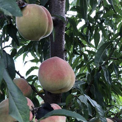 【现货速发】冬桃映霜红桃子现摘现发新鲜水果应季水果孕妇