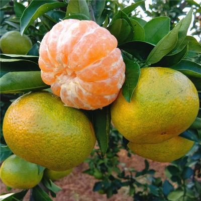 【坏果包赔】宜昌当季水果蜜桔无籽新鲜柑橘现摘 3斤装 果径55起