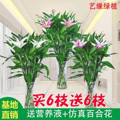 富贵竹水养四季水培植物竹子盆栽客厅室内花好养易活观音竹转运竹