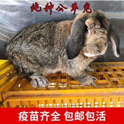 大型肉兔活物纯种公羊兔活体垂耳兔巨型大流士兔子成年可繁殖种兔