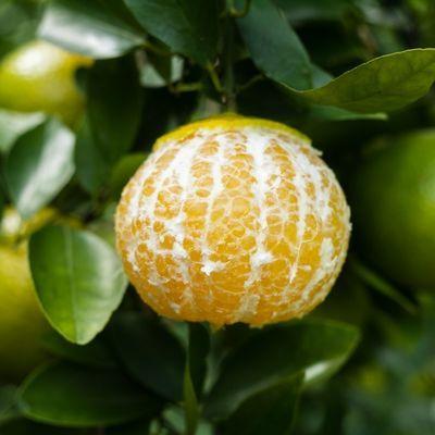 【送开果器】正宗广西皇帝柑贡柑 新鲜现摘桔子橘子当季水果包邮