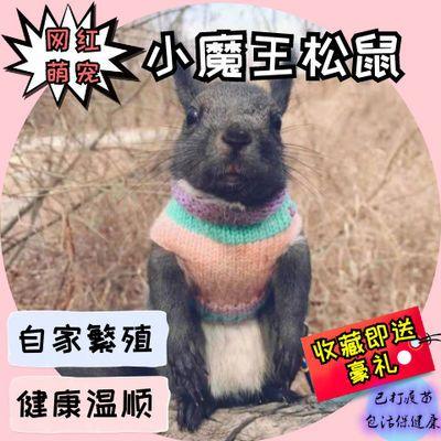 【养殖场打疫苗】宠物活体 魔王松鼠 金花松鼠幼崽送笼子粮食包邮