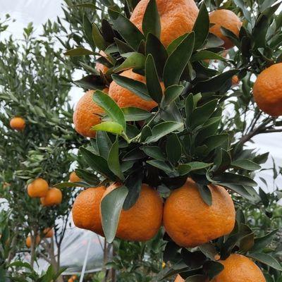 四川蒲江椪柑新鲜橘子当季水果货非丑橘5斤水果新鲜非耙耙柑橘子