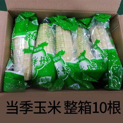 [10根]当季冻棒东北黏糯玉米整箱粘糯玉米棒批发新鲜甜糯白玉米棒
