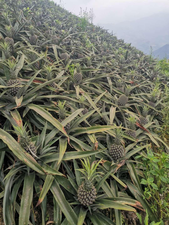 云南高山香水菠萝非大凤梨无眼菠萝现摘现发一斤二斤三斤五斤九斤