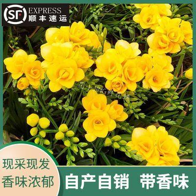 香雪兰鲜花【自有基地】云南直发小苍兰真花批发现采现发带香味