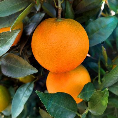 奉节脐橙新鲜水果5/10斤橙子非冰糖橙赣南脐橙整箱批发