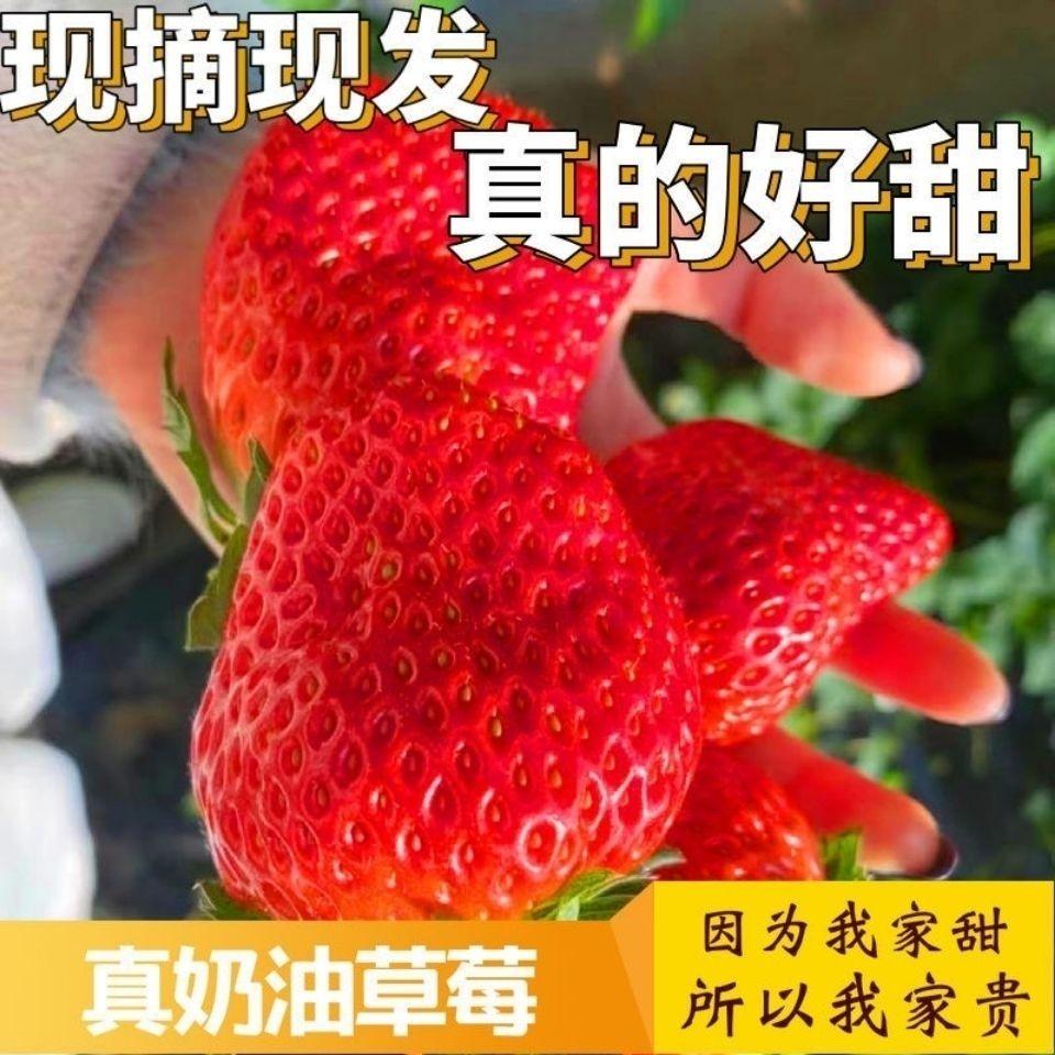 【现货】正宗奶油草莓新鲜冬草莓甜草莓应季水果现摘现发江苏