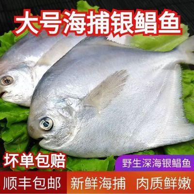 东海活体野生鲳鱼海捕白鲳鱼大号银鲳鱼新鲜金鲳鱼新鲜鲜活银鲳鱼