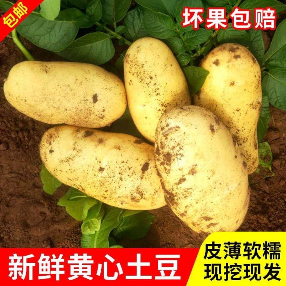 山东黄皮土豆5斤新鲜土豆沙面黄心马铃薯农家自种蔬菜洋芋包邮