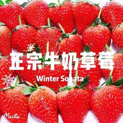 【生鲜特快】奶油草莓新鲜冬牛奶草莓甜草莓应季水果现摘现发江苏