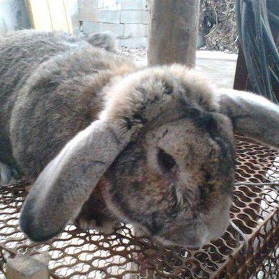 纯种公羊兔活体成年种兔幼兔巨型垂耳兔大型肉兔大流士兔一对包邮