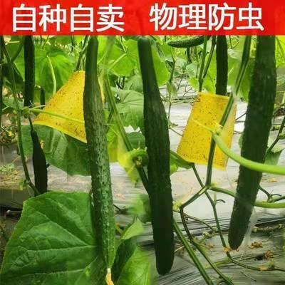 【当天现摘】新鲜刺黄瓜1/3/5斤一整箱农家自种青黄瓜脆嫩水果瓜【4月19日发完】
