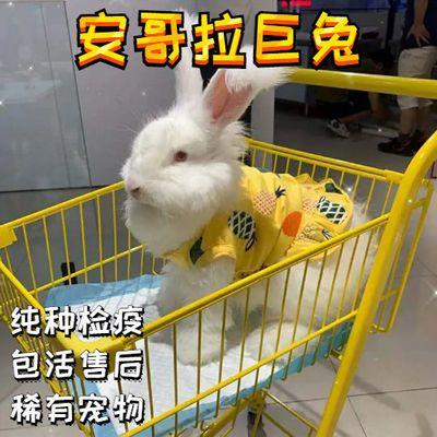 安哥拉巨兔宠物兔活体大型长毛兔子活体网红安哥拉兔巨型宠物粮食