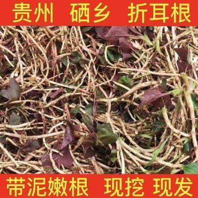 鱼腥草 富硒折耳根 贵州 节节根 现挖 嫩根 带泥 侧耳根 野菜蔬菜
