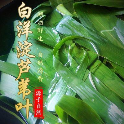 29860/粽子叶芦苇叶白洋淀粽子叶新鲜野生大宽叶