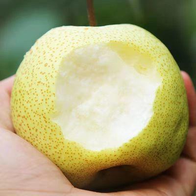 果园直供砀山酥梨5斤净重新鲜现货整箱包邮当季水果热卖