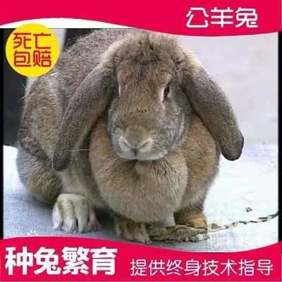 兔子活物公羊兔大流士大型食用肉兔活体巨型繁殖比利时种月月兔苗【6月4日发完】