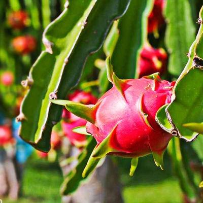 (进口)越南红心火龙果进口新鲜水果当季大果整箱批发3/5斤红肉