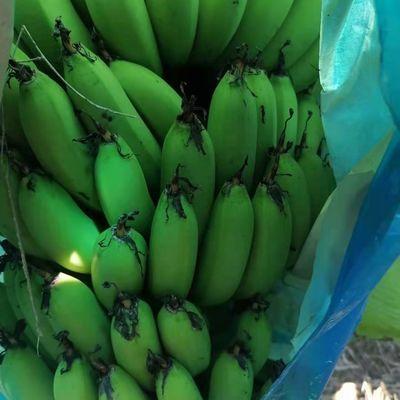 云南香蕉新鲜banana高山甜香蕉5/10斤自产自销绿色应季水果批发邮