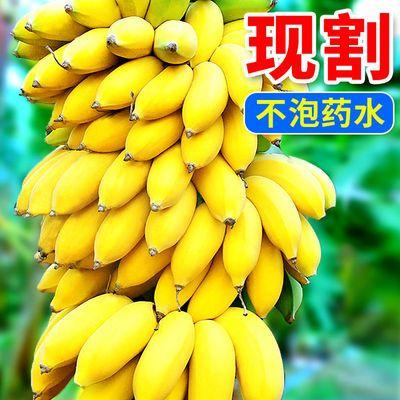 广西小米蕉苹果蕉粉蕉新鲜水果芭蕉整箱批发包邮非海南香蕉无泡药