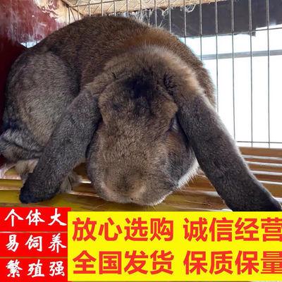 公羊兔纯种公羊兔子苗巨型一只大型法国公羊兔活体巨型兔子苗一对【5月31日发完】