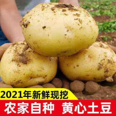新鲜土豆黄皮土豆四川特产包邮8斤农家自产马铃薯洋芋新土豆批发