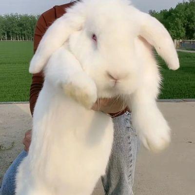 纯种公羊兔一对 易成活包邮