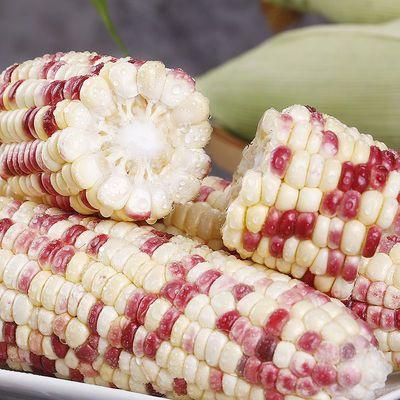【10斤装】甜糯玉米新鲜现摘东北粘黏批发糯香3斤棒现摘玉米新鲜