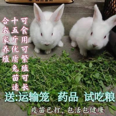 2021新品巨兔喜马拉雅巨兔苗活物大型家养兔子活体巨型兔苗可繁殖【6月7日发完】