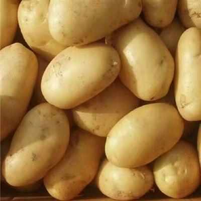 【高原土豆】精选云南新鲜土豆现挖现发粉面洋芋马铃薯产地批发