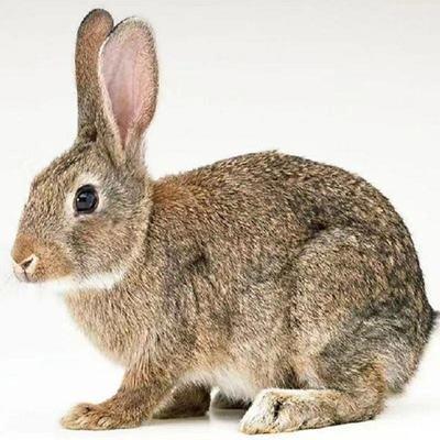 兔子活体幼崽大型肉兔子小白兔小兔子比利时兔新西兰兔苗包邮包活【5月30日发完】