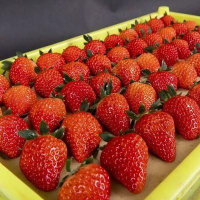 【红颜草莓】奶油草莓新鲜冬牛奶草莓甜草莓应季水果现摘现发