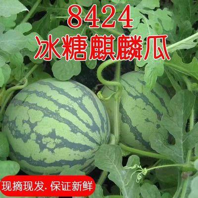 【现摘现发】正宗8424麒麟西瓜皮薄无籽红瓤汁多超甜孕妇新鲜水果