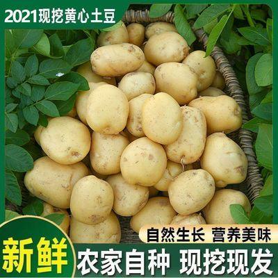 现挖农家自种黄皮黄心土豆粉糯面马铃薯新鲜大土豆蔬菜洋芋5斤