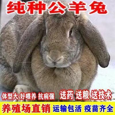 纯种巨型公羊兔小白兔比利时兔子活物宠物兔家养肉兔苗包邮包活【6月7日发完】