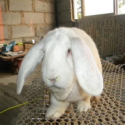 2021新品巨型公羊兔巨兔活物兔子大型肉兔子包邮包活健康月月兔崽