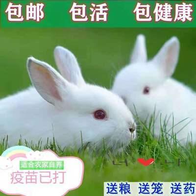 兔子活体大型肉兔月兔新西兰兔比利时肉兔苗白兔可长20斤可繁殖