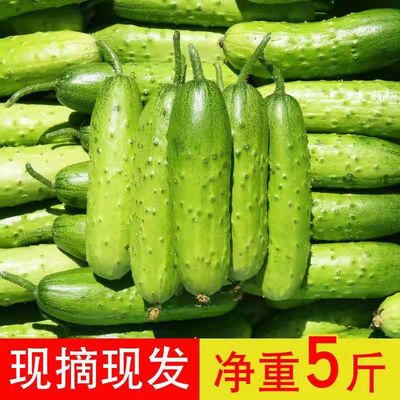 75469/东北特产旱黄瓜水果小黄瓜生吃蘸酱现摘现发青瓜农家蔬菜新鲜时令